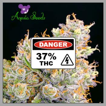 Future #1 Feminised Cannabis Seeds - Anesia Seeds