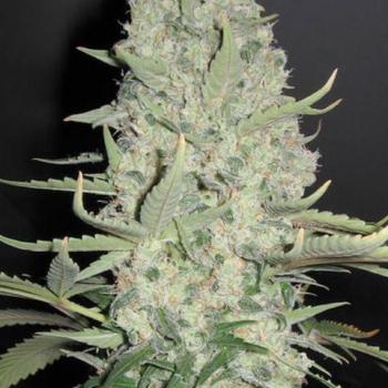 Cannabis Seeds | Buy Cheap Marijuana Seeds from UK #1 Online Seeds Store