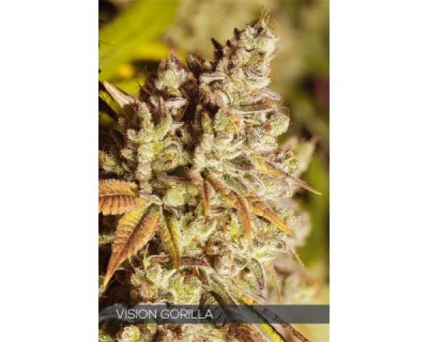 Vision Gorilla Feminised Cannabis Seeds | Vision Seeds