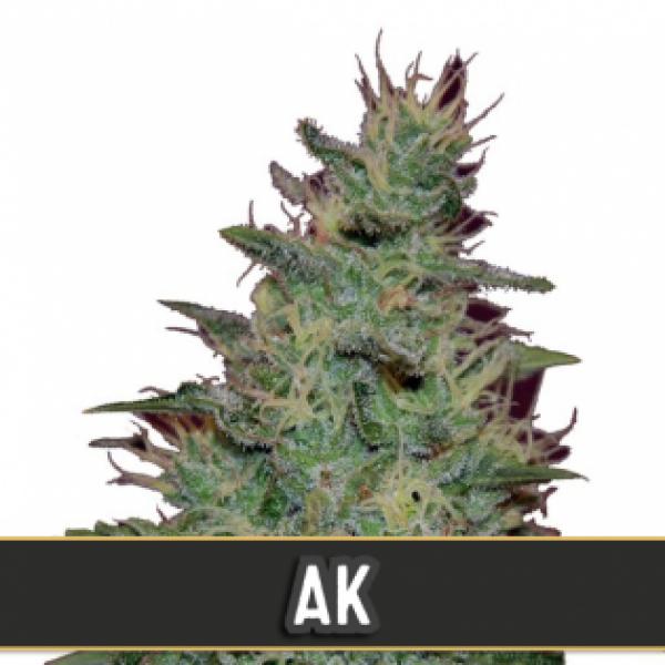 AK Automatic Feminised Cannabis Seeds   Blim Burn Seeds