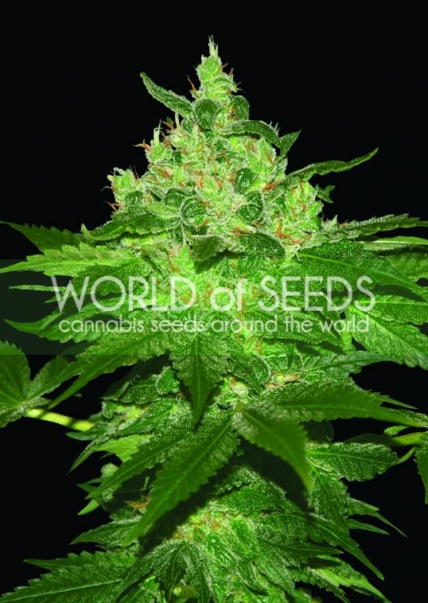 Afghan Kush Regular Cannabis Seeds   Discount Cannabis Seeds