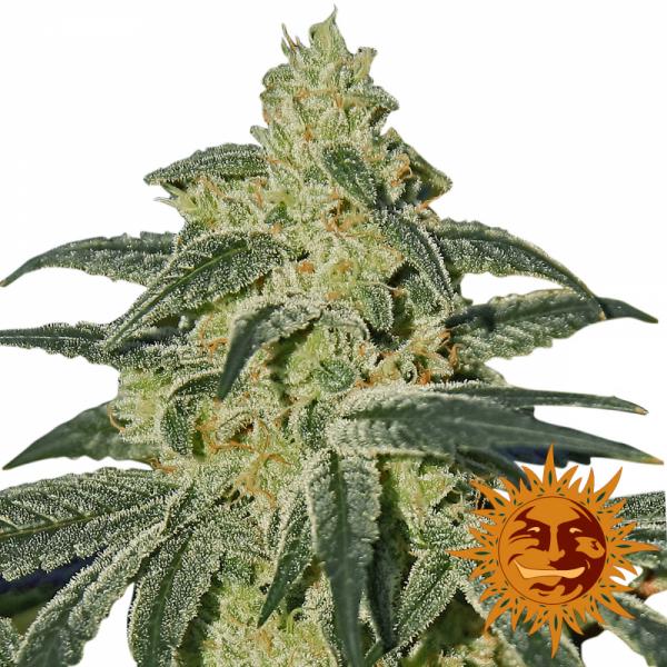 Afghan Hash Plant Regular Cannabis Seeds   Barney's Farm