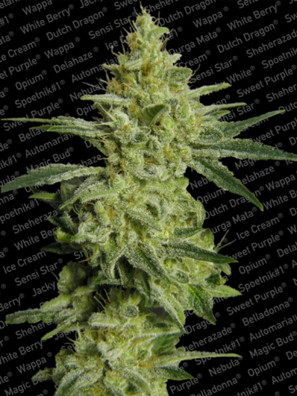 Allkush Feminised Cannabis Seeds | Paradise Seeds