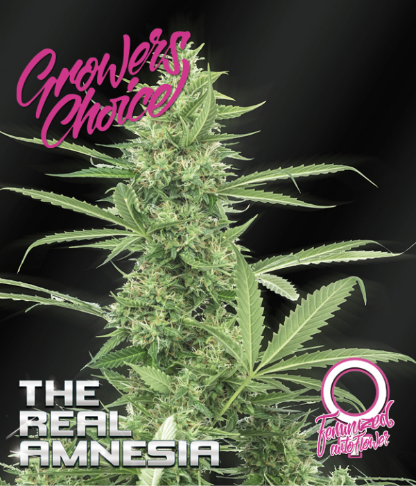 Amnesia (The Real) Auto Feminised Cannabis Seeds - Growers Choice