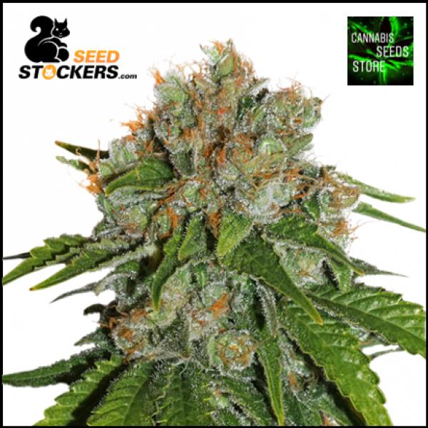 Amnesia Auto Cannabis Seeds | Seed Stockers