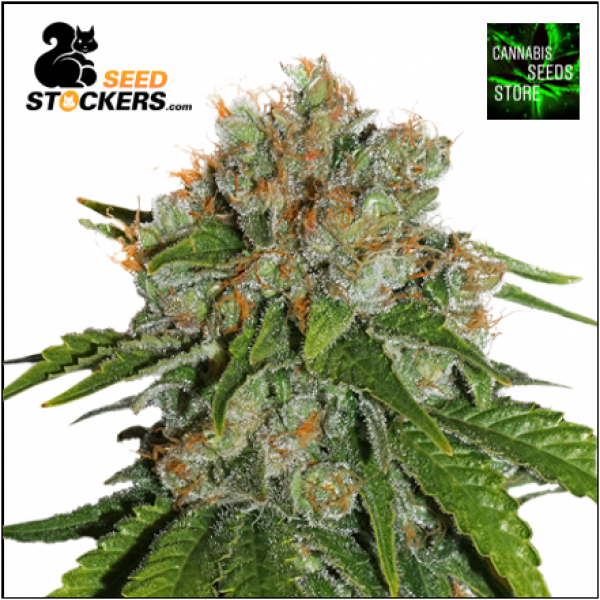 Amnesia Auto Cannabis Seeds | Seed Stockers