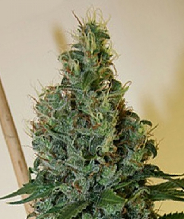 Congo OG Regular Cannabis Seeds | Apothecary Genetics Seeds