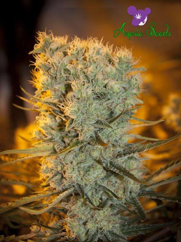 Auto Banana Kush Feminised Cannabis Seeds - Anesia Seeds