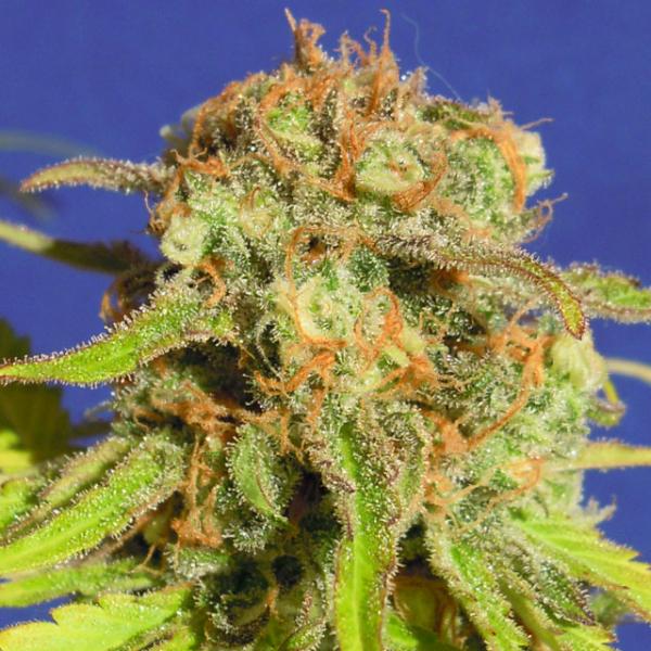 Auto Bruce Banner #3 Feminised Cannabis Seeds   Original Sensible Seed Company