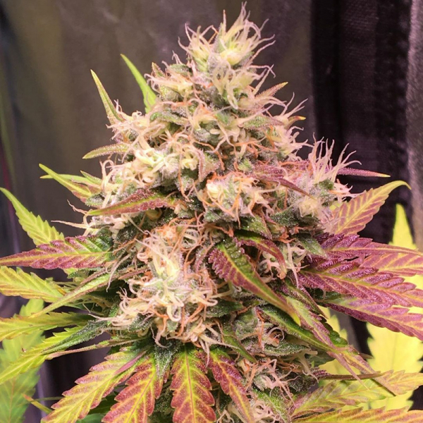 Auto Skush Feminised Cannabis Seeds | Top Shelf Elite