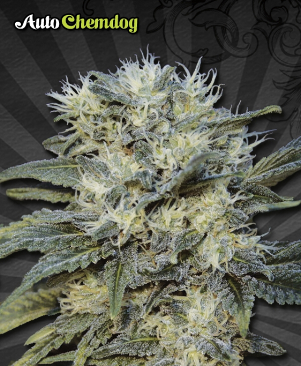 Auto Chemdog Auto flowering Feminised Cannabis Seeds | Auto Seeds