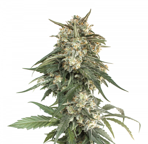 BCN Critical XXL Fast Feminised Cannabis Seeds   Seed Stockers