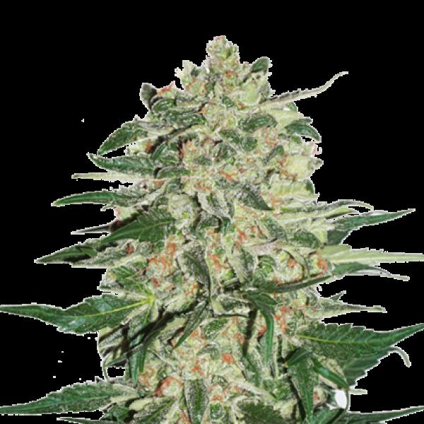 Big Bud Feminised Cannabis Seeds   Seed Stockers