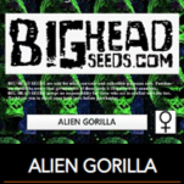 Alien Gorilla Feminised Cannabis Seeds   Big Head Seeds