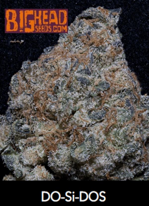 Do-Si-Dos Feminised Cannabis Seeds | Big Head Seeds