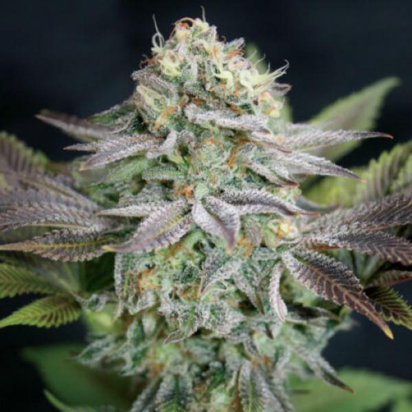 Blue Dream Feminised Cannabis Seeds   Garden of Green