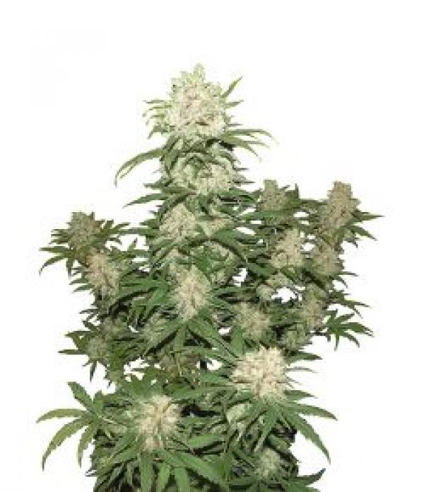 Auto Blueberry Feminised Cannabis Seeds   Concrete Jungle Seeds