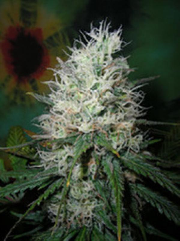 Afghani Dream Feminised Cannabis Seeds | British Columbia