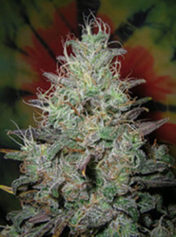 Big Blue Regular Cannabis Seeds   British Columbia