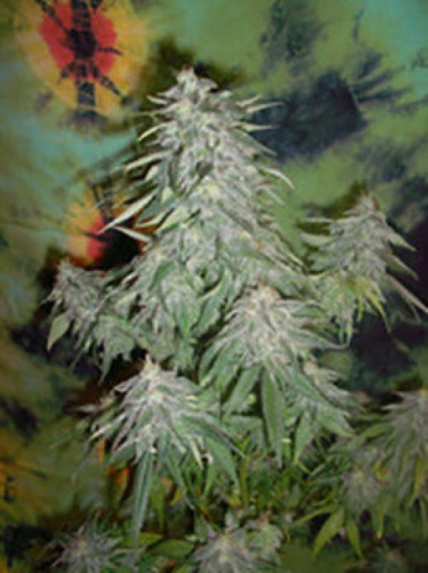 Super Kush Feminised Cannabis Seeds | British Columbia