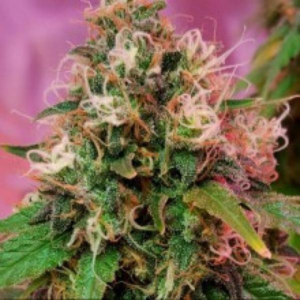 OG Kush Feminised Cannabis Seeds
