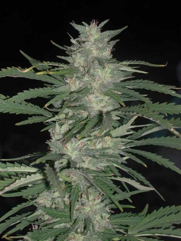 Nepal Jam Regular Cannabis Seeds | Cannabiogen Seeds