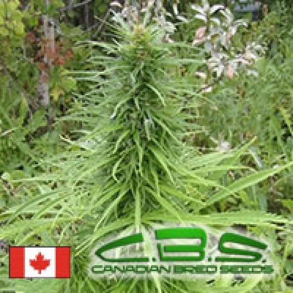 Early Sativa Regular Cannabis Seeds