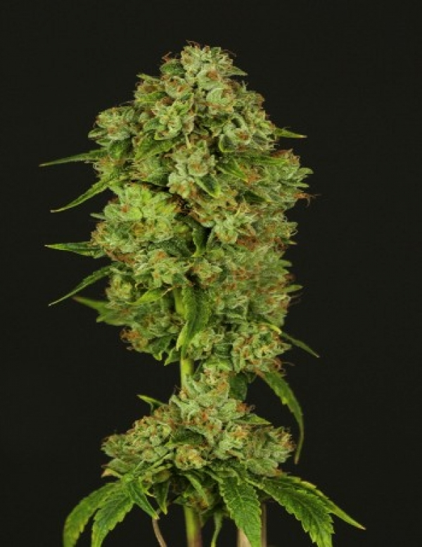 Casey Jones Feminised Cannabis Seeds | Devil's Harvest Seeds