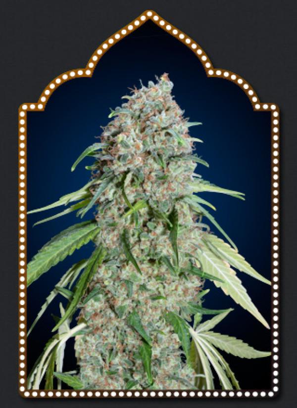 Chocolate Skunk CBD Feminised Cannabis Seeds | OO Seeds