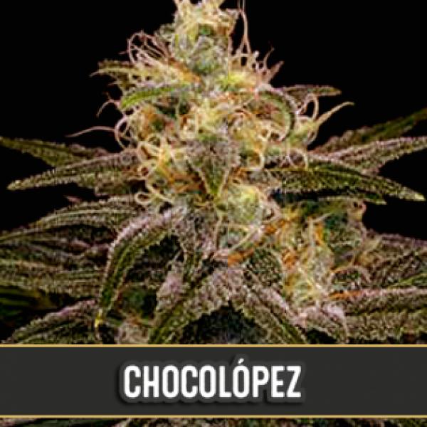 Chocolopez Femininsed Cannabis Seeds | Blim Burn Seeds