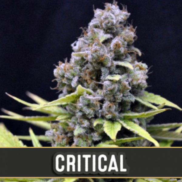 Critical Automatic Feminised Cannabis Seeds | Blim Burn Seeds Critical Automatic Feminised Cannabis Seeds | Blim Burn Seeds