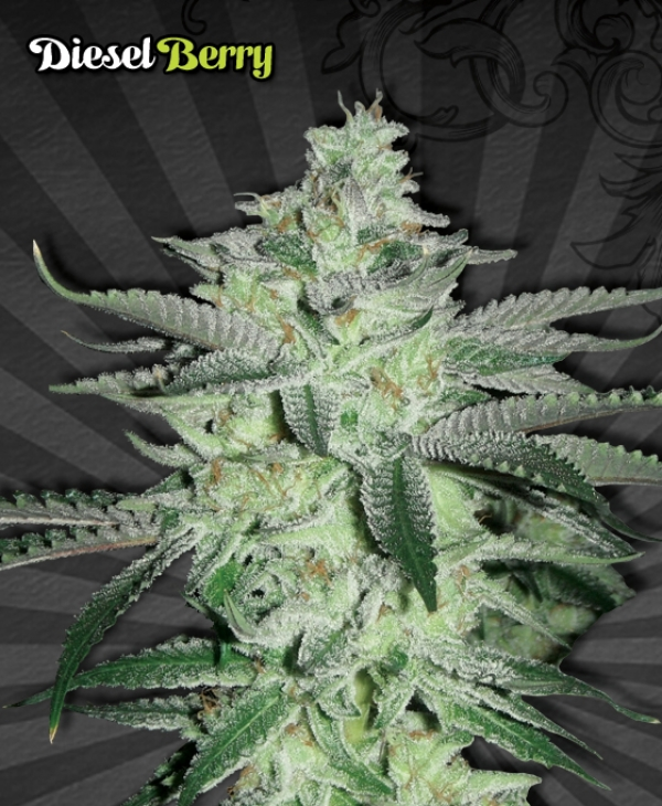 Diesel Berry Auto flowering Feminised Cannabis Seeds | Auto Seeds
