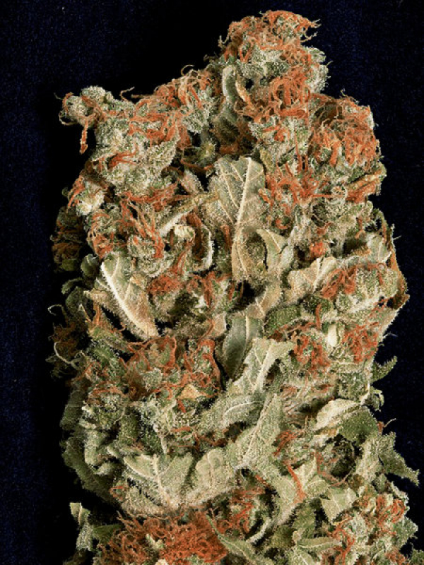 Don Amnesia Feminised Cannabis Seeds | Don Avalanche Seeds