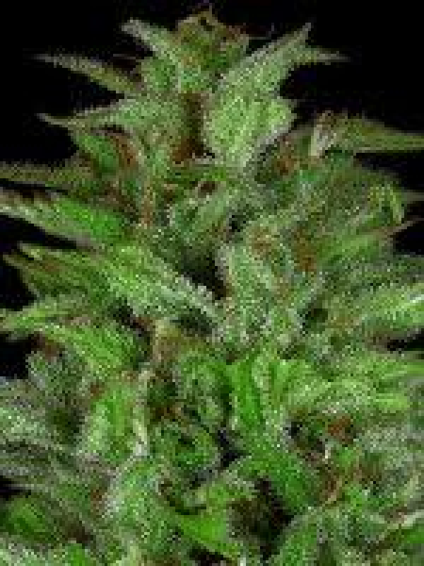 Don Gelato Auto Feminised Cannabis Seeds | Don Avalanche Seeds