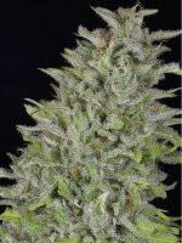 Don Wedding Cake Feminised Cannabis Seeds | Don Avalanche Seeds