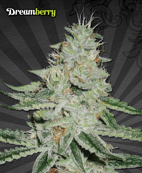 Dream Berry Regular Cannabis Seeds   Apothecary Genetics Seeds