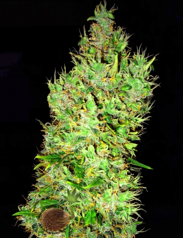 OG Critical Feminised Cannabis Seeds | Emerald Triangle Seeds