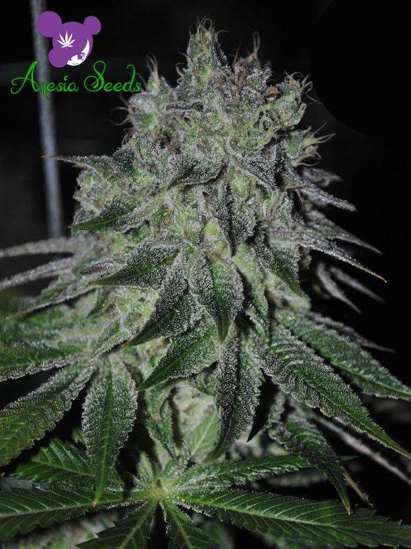 Fast Caramelic Feminised Cannabis Seeds - Anesia Seeds