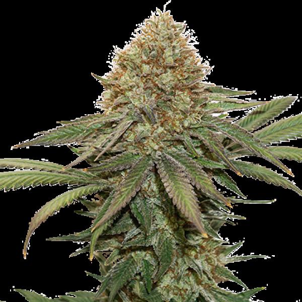 Fruit Cake Feminised Cannabis Seeds | Seed Stockers