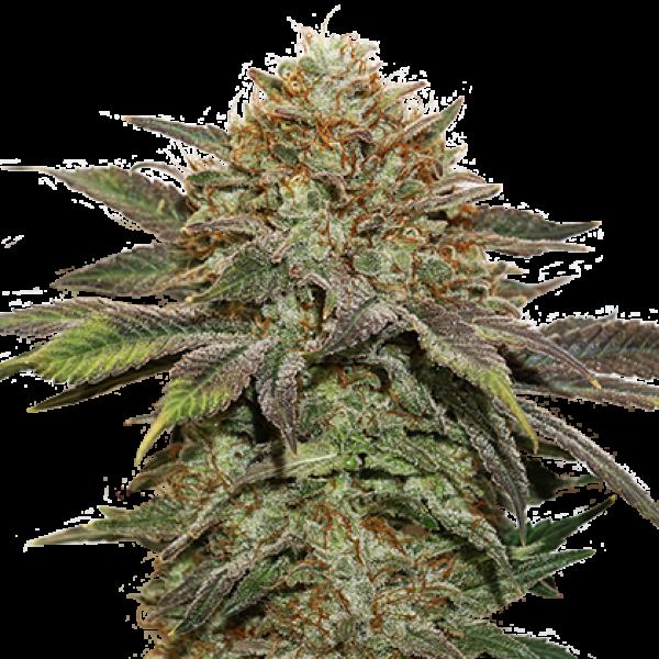 Fruit Cake Auto Feminised Cannabis Seeds | Seed Stockers
