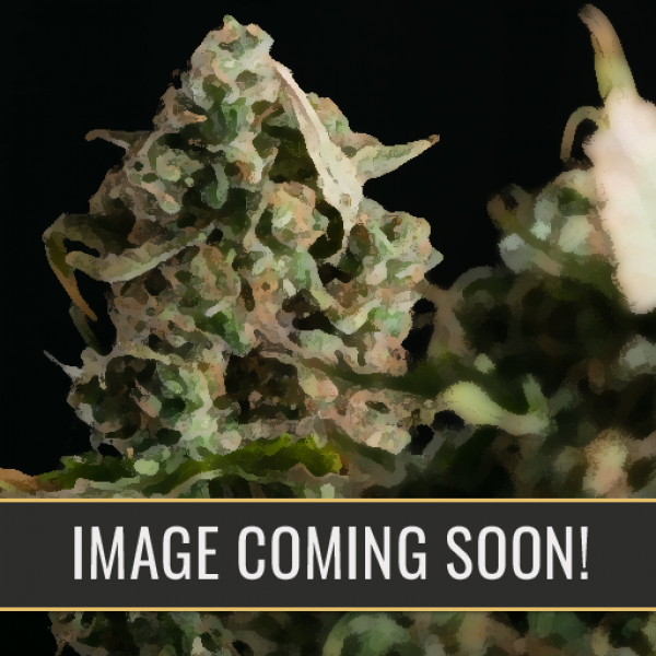 Girl Scout Cookies Auto Feminised Cannabis Seeds | Blim Burn Seeds