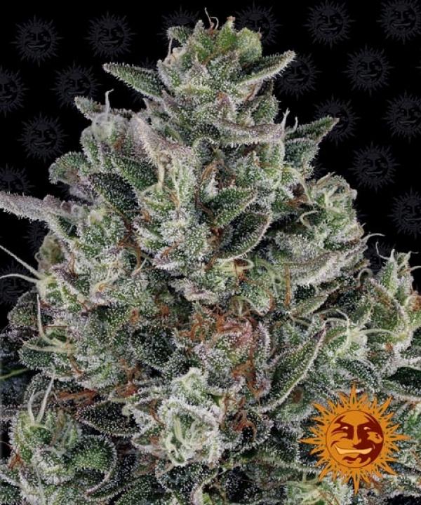 Glookies Feminised Cannabis Seeds | Barney's Farm