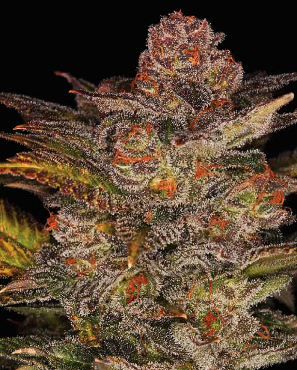 Glueberry Auto Feminised Cannabis Seeds | Expert Seeds