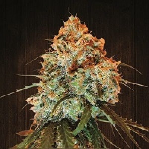 Golden Tiger Feminised Cannabis Seeds   Ace Seeds