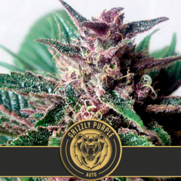 Gagettoplant Feminised Cannabis Seeds | Blim Burn Seeds BCN Range