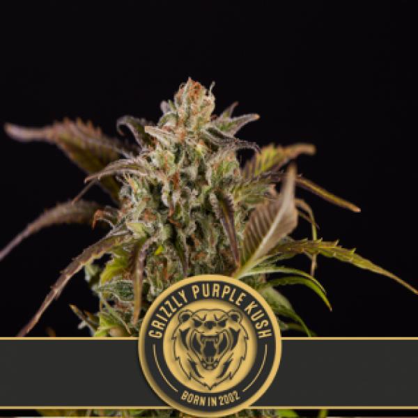 Grizzly Purple Kush Feminised Cannabis Seeds | Blim Burn Seeds