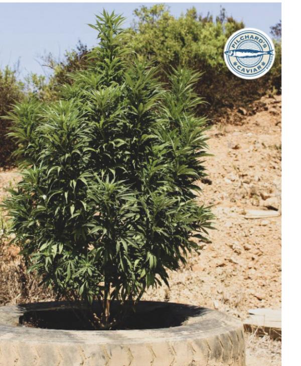 Big Tuna Feminised Cannabis Seeds - Pilchard's