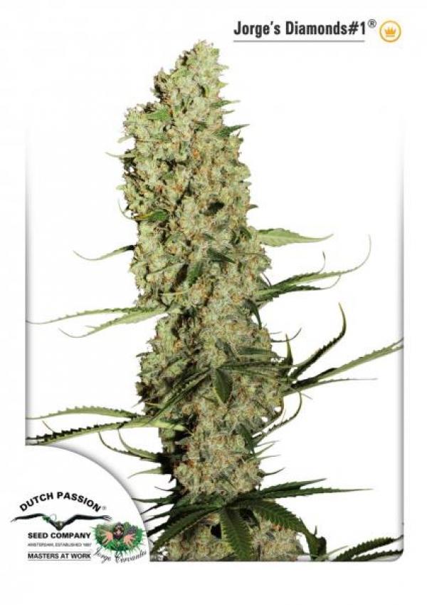 Jorge's Diamond #1 Feminised Cannabis Seeds   Dutch Passion