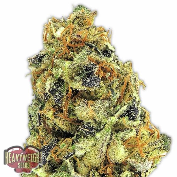 K.O. Kush Feminised Cannabis Seeds | Heavyweight Seeds