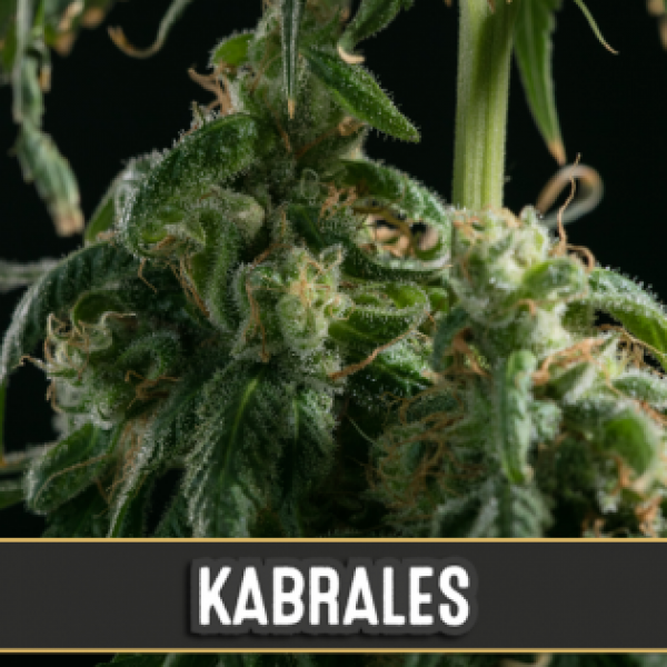 Kabrales Feminised Cannabis Seeds | Blim Burn Seeds